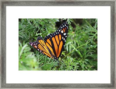 Monarch Butterfly In Lush Leaves Framed Print