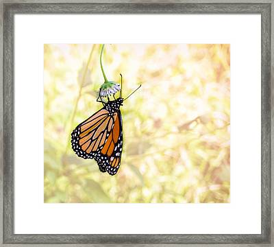 Monarch Butterfly Hanging On Wildflower Framed Print