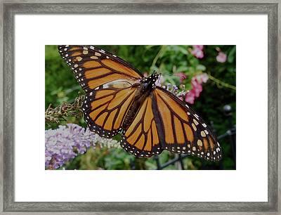 Monarch Butterfly Framed Print by Melinda Saminski