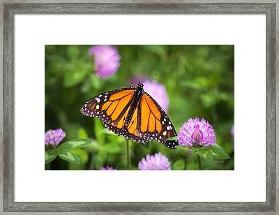 Monarch Butterfly On Bright Pink Clover Flowers Framed Print