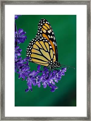 Monarch Butterfly On Flower Blossom Framed Print