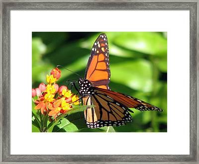 Monarch Butterfly On Milkweed Framed Print