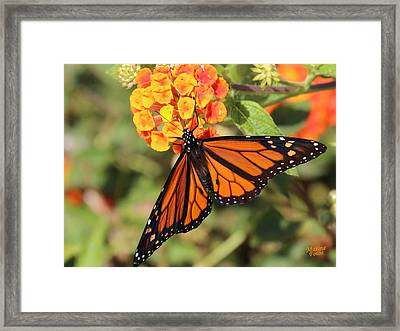Monarch Butterfly On Orange Flower Framed Print