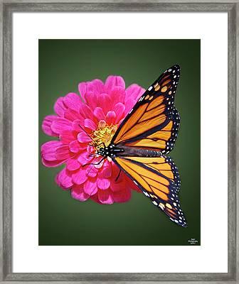 Monarch Butterfly On Pink Flower Framed Print