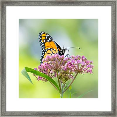 Monarch Butterfly On Swamp Milkweed Framed Print