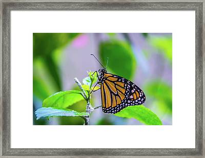 Monarch Butterfly Framed Print by Pamela Williams