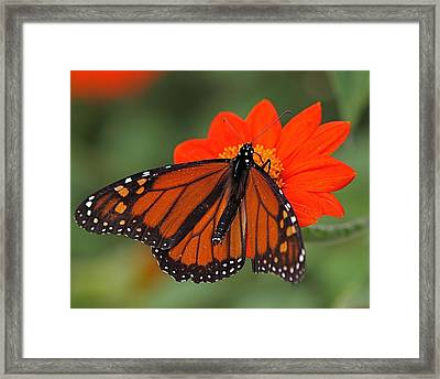 Monarch Butterfly Framed Print by Peter Gray
