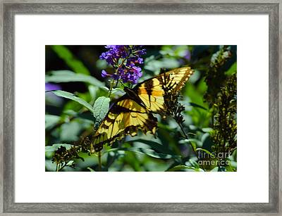 Swallowtail Butterfly Framed Print by Robyn King