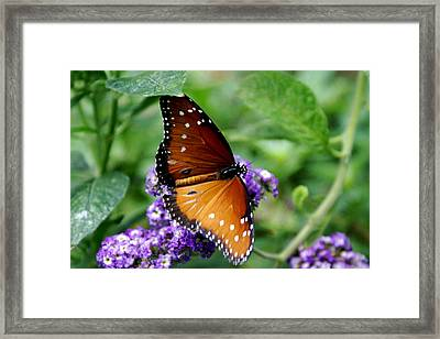Monarch Butterfly Framed Print by Sonja Anderson