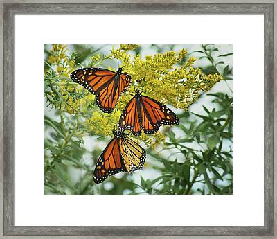 Monarch Butterfly - Trio Framed Print