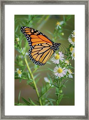 Monarch Butterfly - Wild Aster Framed Print