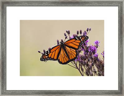 Monarch Butterfly Wings Open Framed Print by Tina B Hamilton