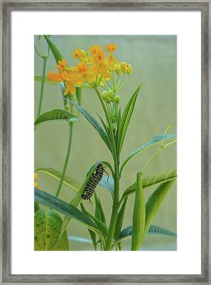 Monarch Caterpillar Framed Print