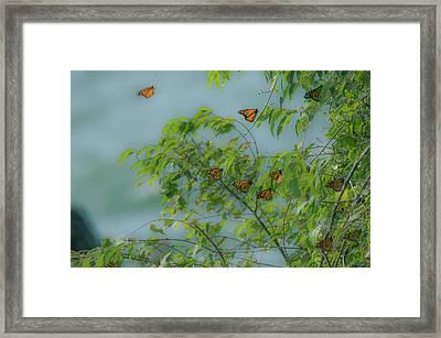 Monarch Cluster Framed Print