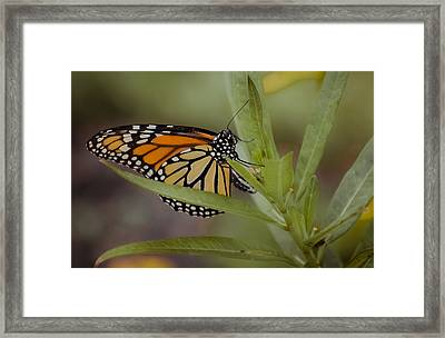 Monarch Desperation Framed Print by DigiArt Diaries by Vicky B Fuller