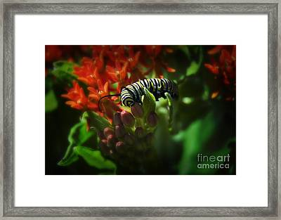 Monarch Framed Print by Fred Lassmann