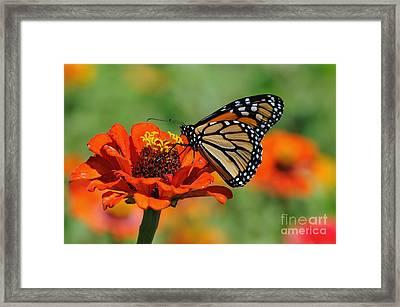 Monarch Glow Framed Print