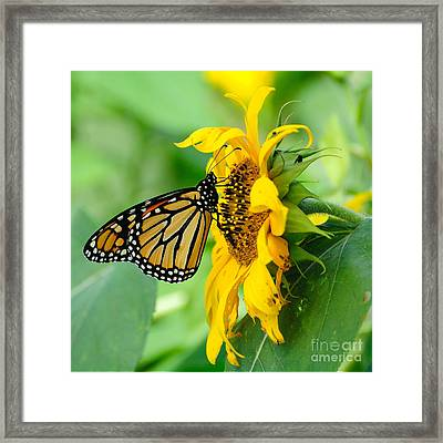 Monarch Gold Framed Print by Edward Sobuta