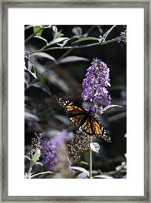 Monarch In Backlighting Framed Print by Rob Travis