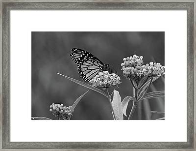 Monarch In Black And White Framed Print