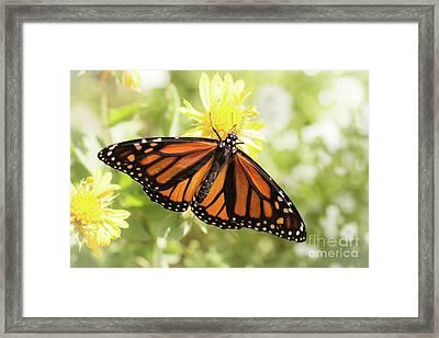 Monarch In The Light Framed Print by Ana V Ramirez