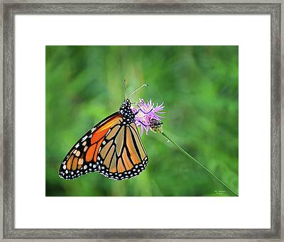 Monarch In The Meadow Framed Print