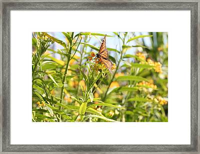 Monarch Is Indeed King Of The Butterflies Framed Print by Dustie Meads
