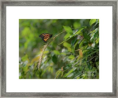 Monarch Light 1 Framed Print by Janal Koenig