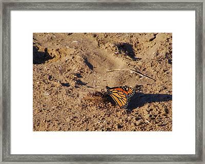 Monarch Framed Print by Lori Kingston