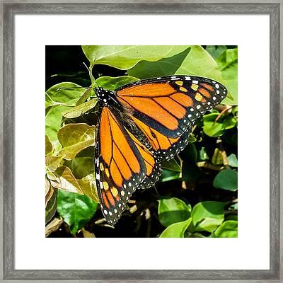 Monarch Framed Print by Mark Barclay
