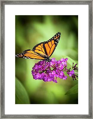 Monarch Moth On Buddleias Framed Print