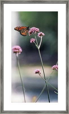 Monarch No. 7-1 Framed Print