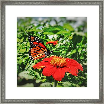 Monarch Of The Flowers  Framed Print
