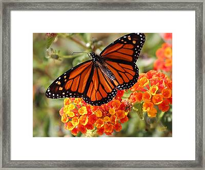 Monarch On 2 Flowers Framed Print