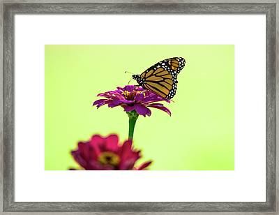 Monarch On A Zinnia Framed Print