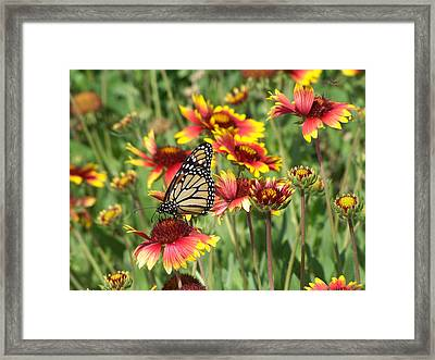 Framed Print featuring the photograph Monarch On Blanketflower by Peg Urban