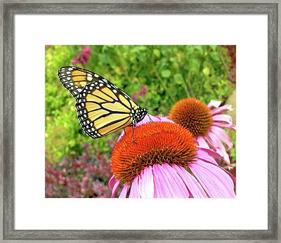 Framed Print featuring the photograph Monarch On Coneflower by Randy Rosenberger