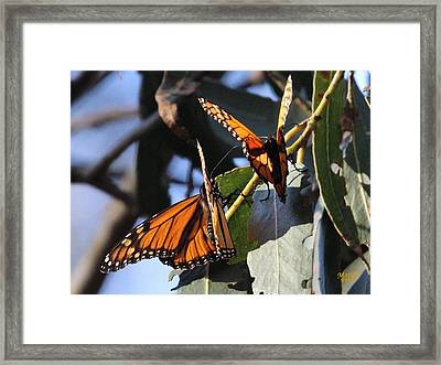 Monarch On Eucalyptus Framed Print