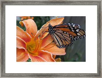 Monarch On Lily Framed Print by Carol Sweetwood