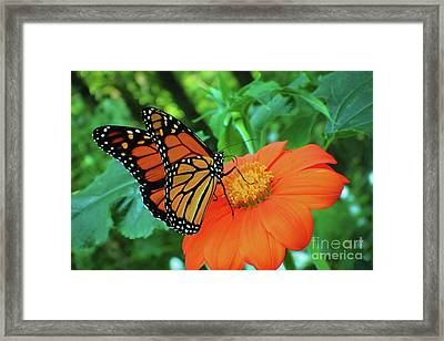 Monarch On Mexican Sunflower Framed Print