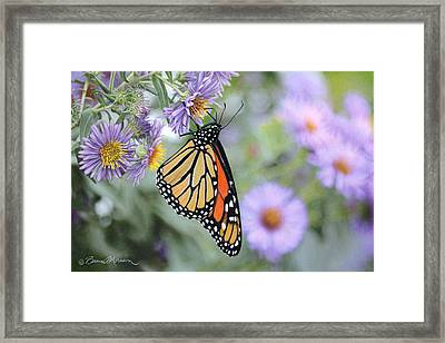 Monarch On New England Aster Framed Print by Bruce Morrison