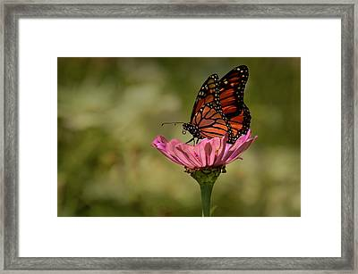 Framed Print featuring the photograph Monarch On Pink Zinnia by Ann Bridges