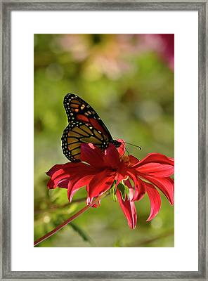 Framed Print featuring the photograph Monarch On Red Zinnia by Ann Bridges