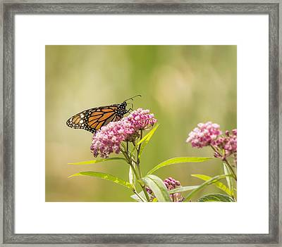 Monarch On Swamp Milkweed 2014-1 Framed Print by Thomas Young