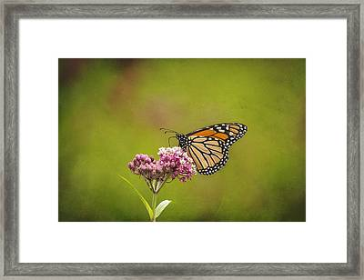 Monarch On Swamp Milkweed 2014-2 Framed Print by Thomas Young
