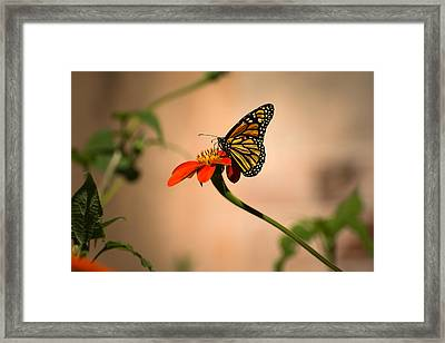 Monarch On Zinnia Framed Print by Zina Stromberg