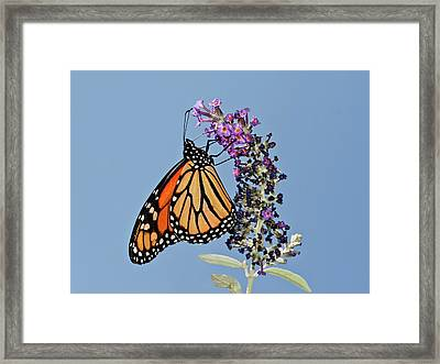 Framed Print featuring the photograph Monarch Orange And Blue by Lara Ellis