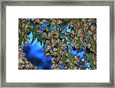 Monarchs Framed Print