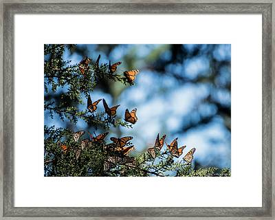 Monarchs In The Tree Framed Print