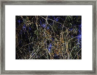 Monarchs Wintering Framed Print by Garry Gay